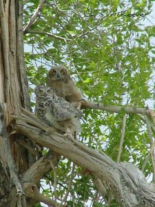 Owl mama and baby